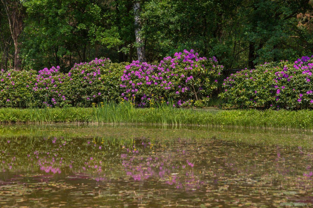 Parktuin met rododendrons in Garderen